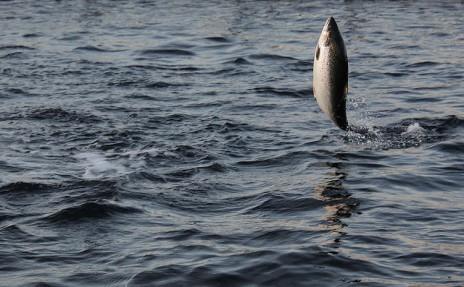 Salmon. Photo: Thomas Bjørkan.